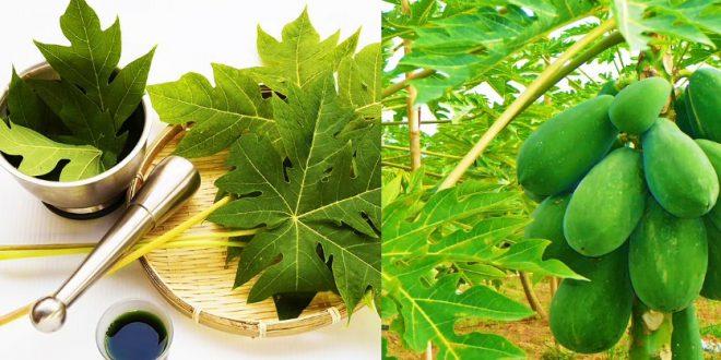 12 manfaat daun pepaya jepang