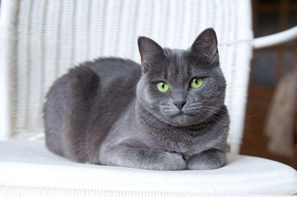Kucing Russian Blue