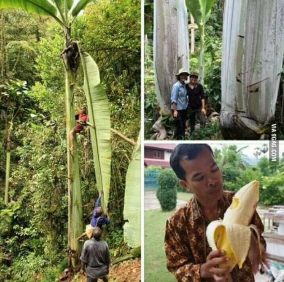 Musa iseng pisang terbesar di papua