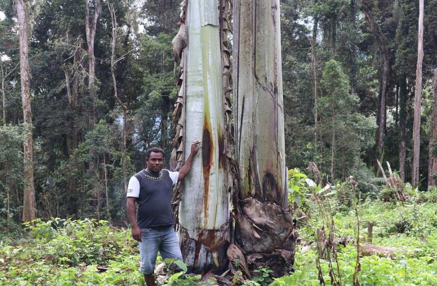 Pisang raksasa Papua di Manokwari