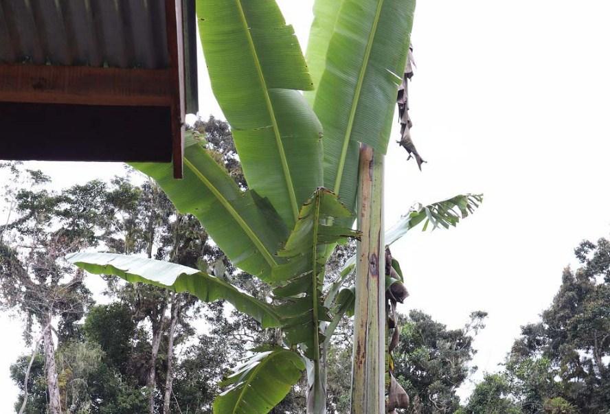 Pohon pisang raksasa papua