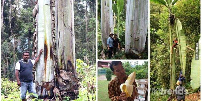 pisang raksasa di papua