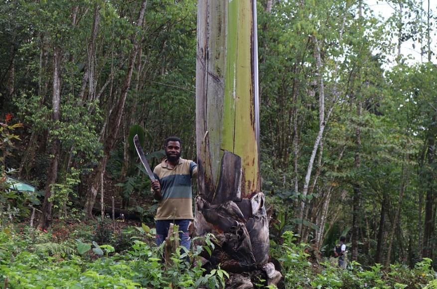 pohon pisang raksasa sudah langka di papua